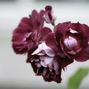 Dunkelrote Blume